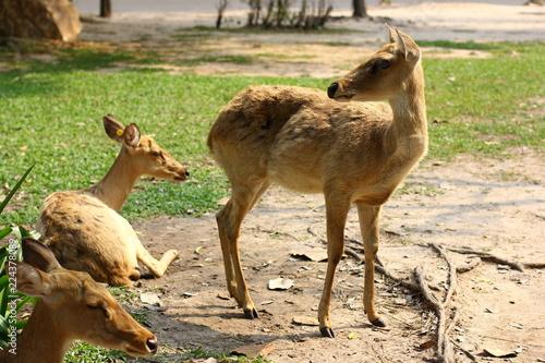 Deurstickers Hert White-Tailed Deer (Odocoileus virginianus)