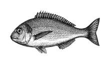 Ink Sketch Of Gilt-head Sea Br...