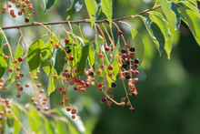 A Twig Of Bird Cherry With Black, Red And Pink Berries Surrounded With Green Leaves
