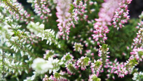 Heather calluna vulgaris alicia white and pink flowers Wallpaper Mural