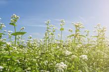 Field Of Flowering Buckwheat A...