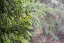 Closeup Of A Beautiful Cobweb Cowered With Dew Drops, Spreaded Between Trees In A Garden