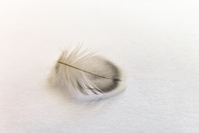 Lightweight Grey Feather Of Home Budgie Close-up On A Bright Background
