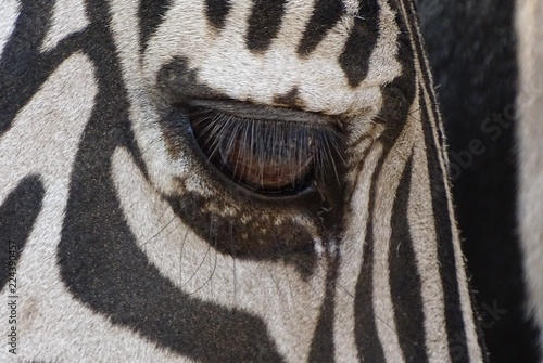 Close up with face of zebra, eyes and genes
