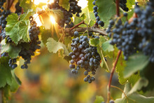 Fresh Ripe Juicy Grapes Growing On Branches In Vineyard