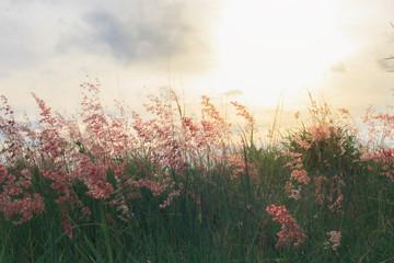 Fototapeta Background of red evening flower meadow in Phuket Thailand