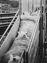 A Sheep Farmer Shears One Of His Sheep