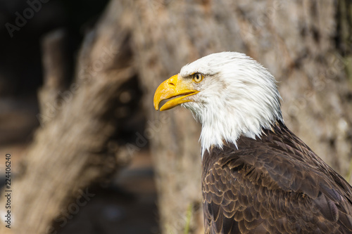 bald eagle looking straight