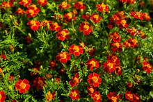 Texture Of Marigold