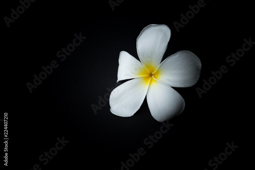 Staande foto Frangipani White Plumeria or frangipani in black background theme