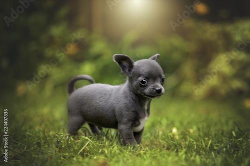 Fotografie, Obraz chihuahua welpen kurzhaar