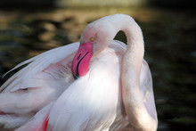 Detail Of Beautiful Rose Head Greater Flamingo (Phoenicopterus Roseus) With Dark Background.