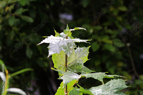 Valokuva  powdery mildew in the form of white spots cover the leaves of young maple