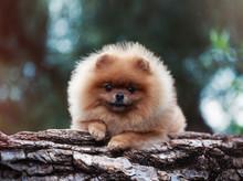 Pomeranian Dog Outdoor.Portrai...