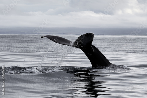 The tail of the sperm whale, Atlantic Ocean, Iceland, Husavik. Whale safari