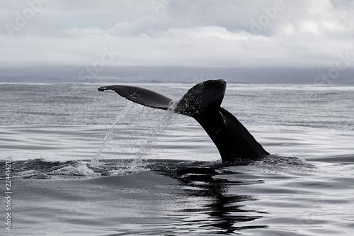 The tail of the sperm whale, Atlantic Ocean, Iceland, Husavik. Whale safari