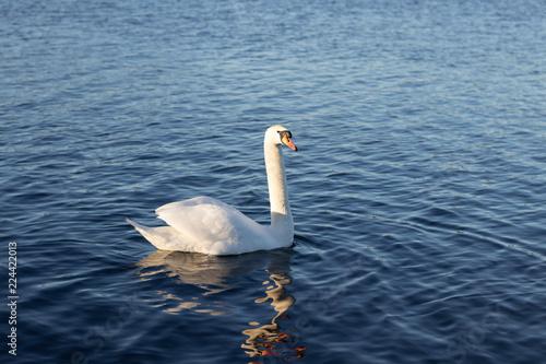 Foto op Plexiglas Zwaan swan on the lake