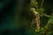 A Green Grasshopper Bug Sits O...