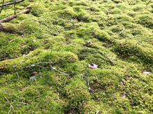 Texture Of A Natural Marsh Green Bright Juicy Moss Of A Fluffy Thick Grass Plant In The Forest. The Background