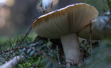 White Mushrooms In A Forest On Green Moss. Soft Focus