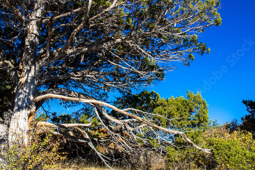 Fotografija  Juniper tree on the edge of the abyss at Black Canyon of the Gunnison National P
