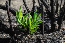Waldbrand, Keim, Asche, Verbrannt, Trockenheit