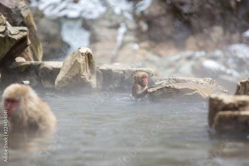 Spoed Foto op Canvas Natuur macaque monkey in a bath in japan