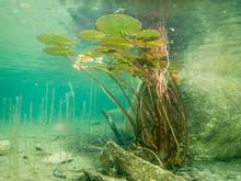 Water Lily Leaves Underwater