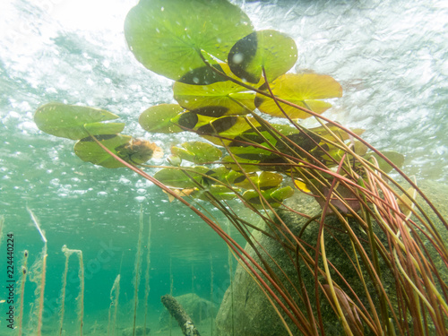 Poster de jardin Nénuphars Water lily floating leaves underwater