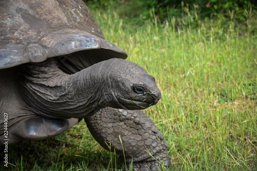 Foto op Aluminium Schildpad Schildkröte, Alt, Turtel, Träge, fressen, Groß, 100 Jahre, Kenia, Kopf, Nahaufnahme