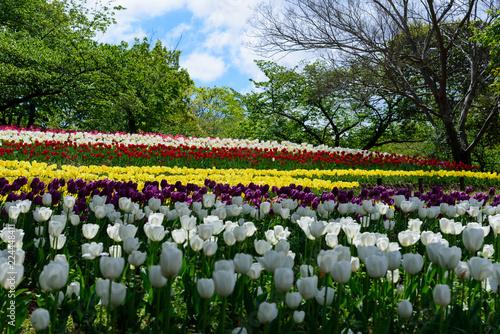 万博記念公園のチューリップ畑、大阪、日本