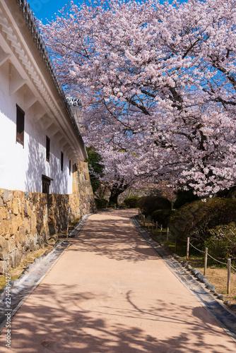 Valokuva  桜咲く姫路城、兵庫、日本