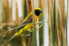 Bird Asian Golden Weaver