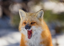 Closeup Of A Yawning Red Fox