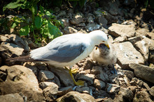 Seagull Feeding Small Chick Mouth To Mouth