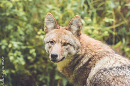 Fotografering  Coyote (Canis latrans) peers through thick green forest canopy in early fall, vi