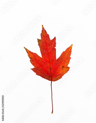 Fotografie, Obraz  A bright red maple leaf taken against a white background