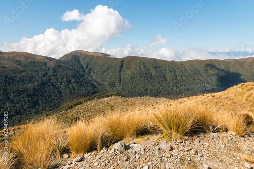 Εκτύπωση καμβά alpine tussock growing on slopes of Paparoa ranges, West Coast, South Island, Ne