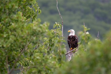 An Adult Bald Eagle Perched On...