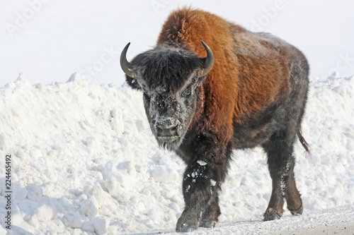 Foto op Aluminium Bison Yong bison on the road - Canada
