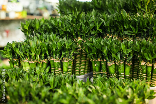 Photographie  Lucky Bamboo shoots at the hong kong flower market, plants for sale