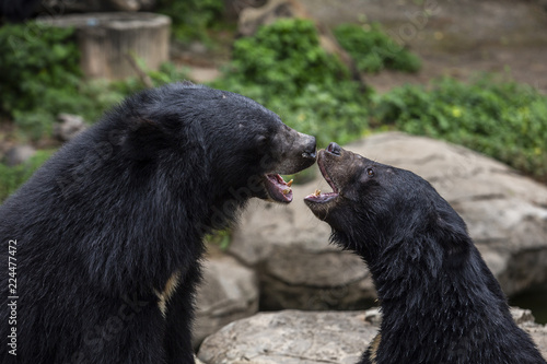 Asian Black Bear is a medium to large sized species of bear that is found inhabiting the deciduous tropical forest throughout Asia.