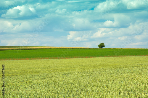 Printed kitchen splashbacks Purple Green wheat field, lonely tree and clouds in the sky