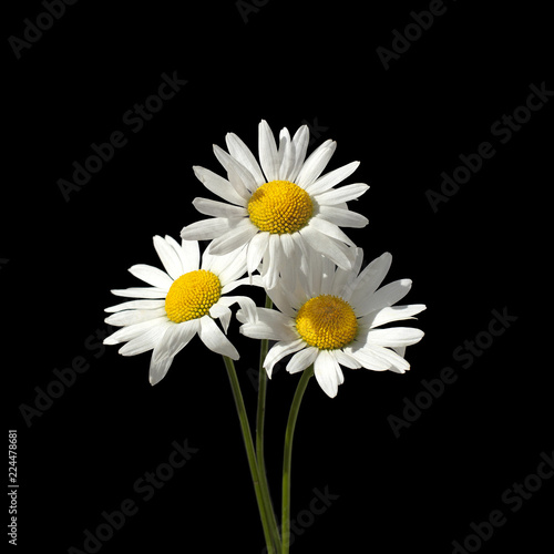 Three Daisy Flowers With White Petals And Yellow Center On A Green