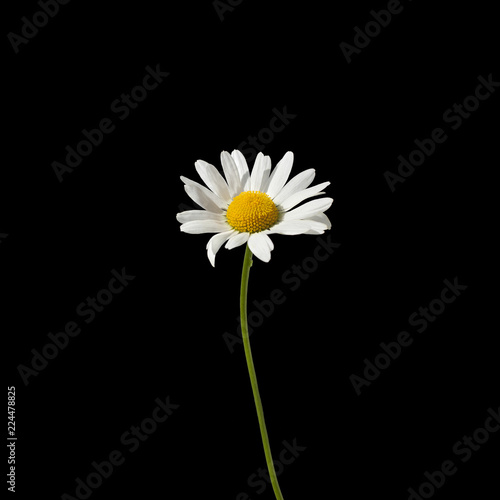 In de dag Madeliefjes One daisy flower with white petals and yellow center on a green stem on black background close up isolated macro in square