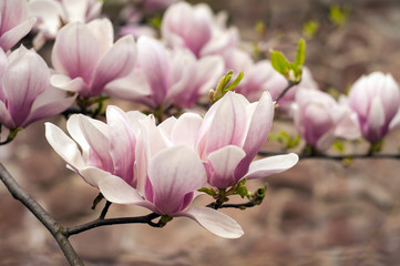 FototapetaClose-up view of pink blooming magnolia. Beautiful spring bloom for magnolia tulip trees pink flowers.