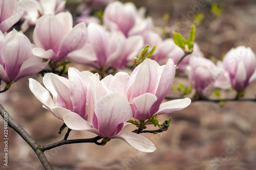 Poster Magnolia Close-up view of pink blooming magnolia. Beautiful spring bloom for magnolia tulip trees pink flowers.