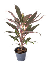 Cordyline Plant In Studio