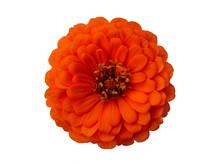 Flower Of Orange Zinnia Close-up Isolated On White Background