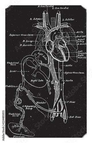 Fotografering Diagram of Fetal Circulation, vintage illustration.